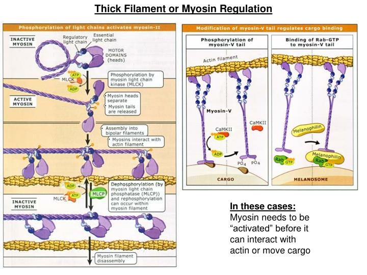 Thick Filament or Myosin Regulation