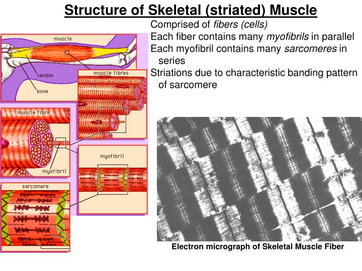 Structure of Skeletal (striated) Muscle