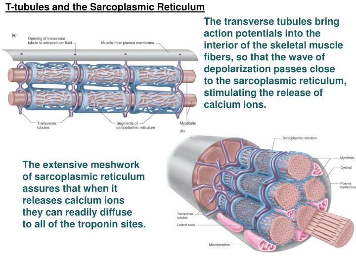 T-tubules and the Sarcoplasmic Reticulum