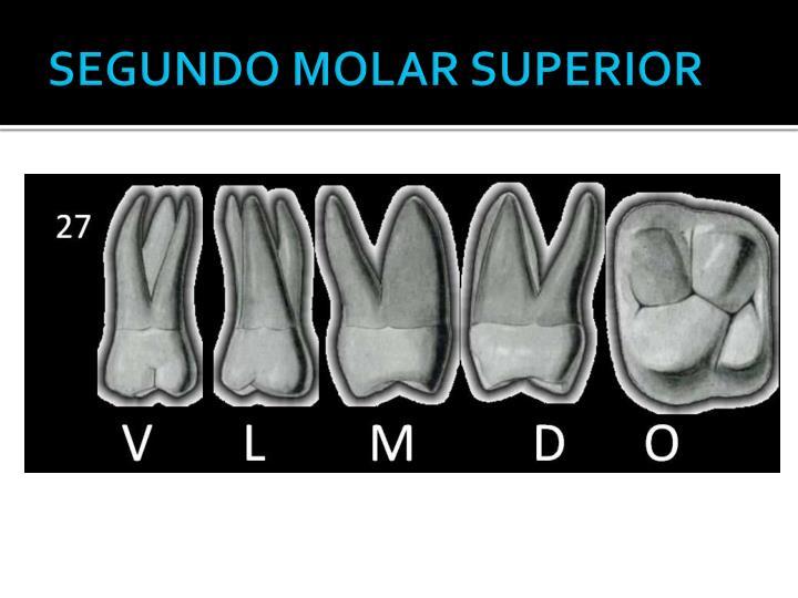 SEGUNDO MOLAR SUPERIOR
