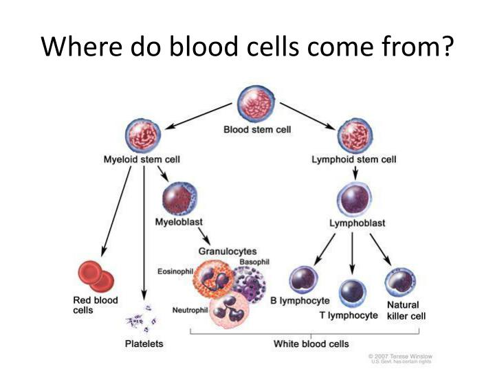 Where do blood cells come from?