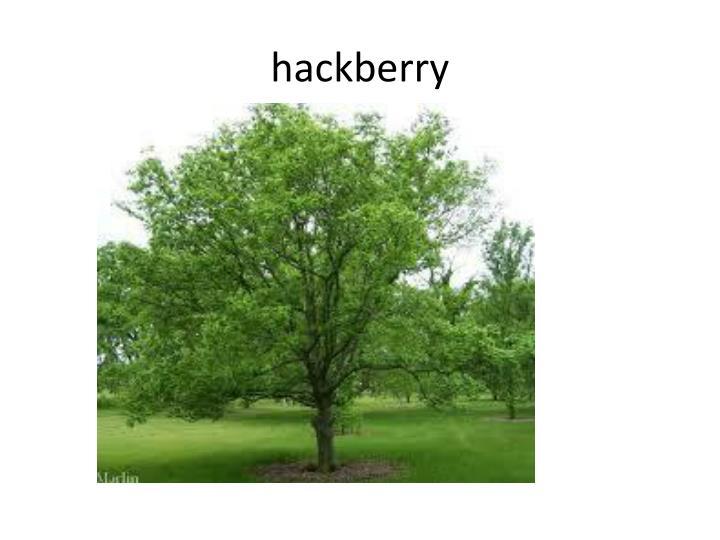 hackberry