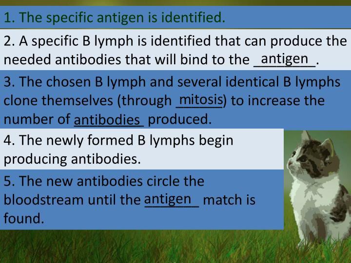 1. The specific antigen is identified.