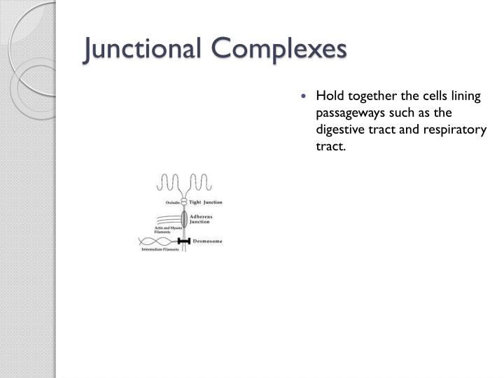 Junctional Complexes