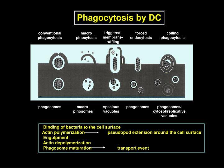 Phagocytosis by DC