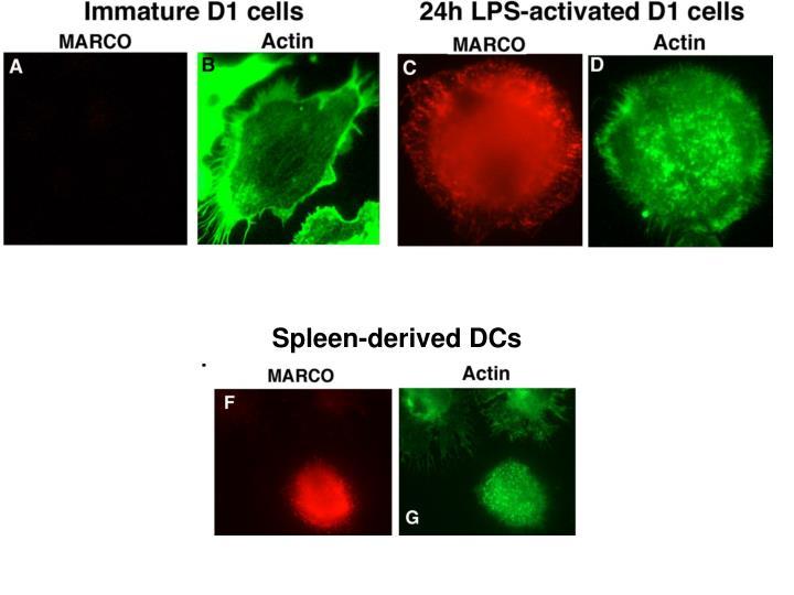 Spleen-derived DCs