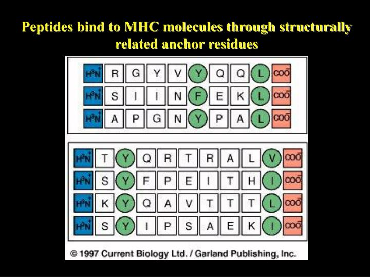 Peptides bind to MHC molecules through structurally related anchor residues