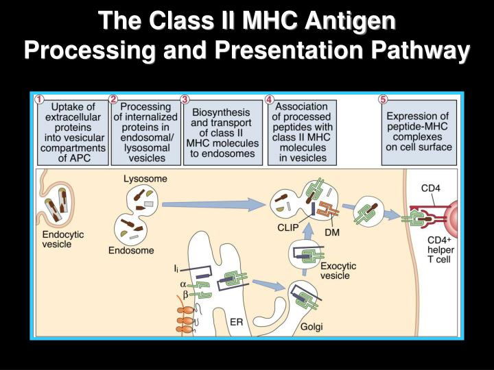 The Class II MHC Antigen