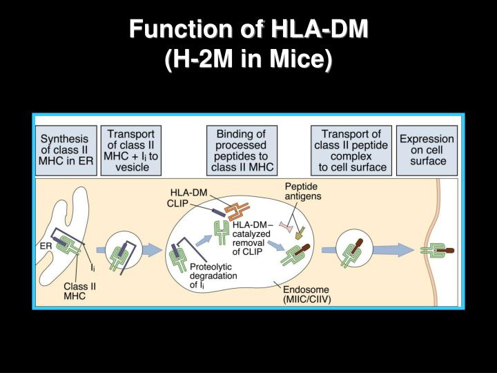 Function of HLA-DM