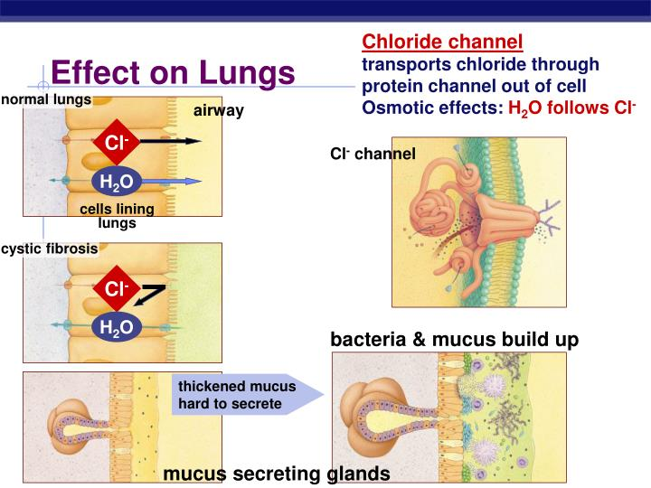 Chloride channel