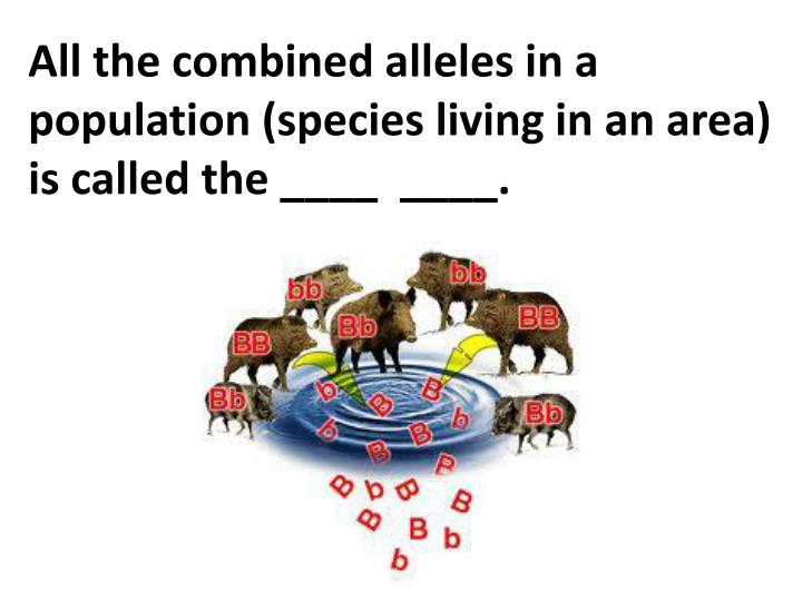 All the combined alleles in a population (species living in an area) is called the ____  ____.