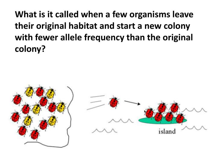 What is it called when a few organisms leave their original habitat and start a new colony with fewer allele frequency than the original colony?