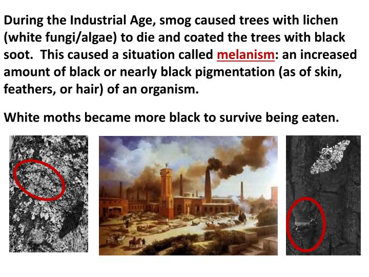 During the Industrial Age, smog caused trees with lichen (white fungi/algae) to die and coated the trees with black soot.  This caused a situation called
