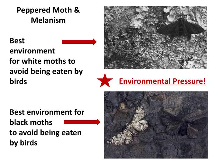 Peppered Moth &