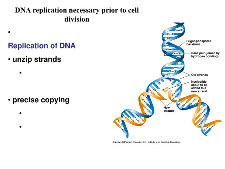 DNA replication necessary prior to cell division