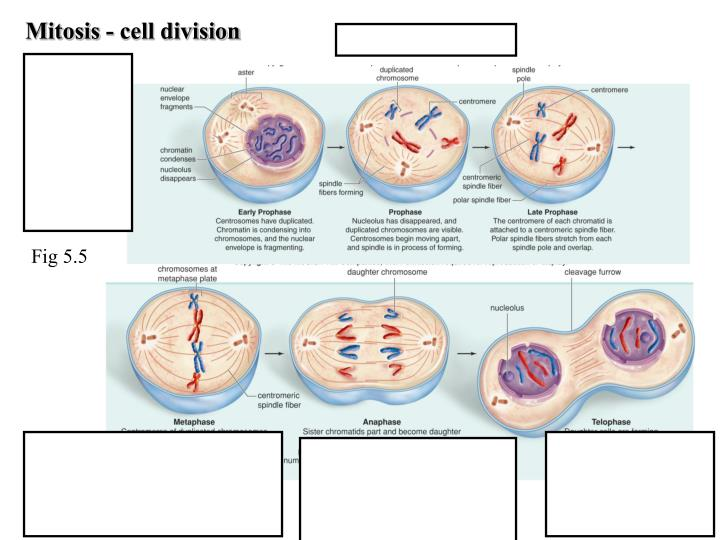 Mitosis - cell division
