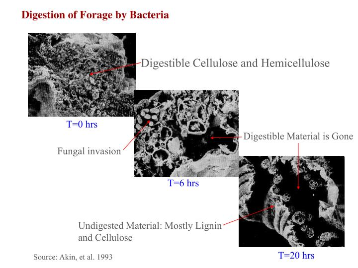 Digestion of Forage by Bacteria