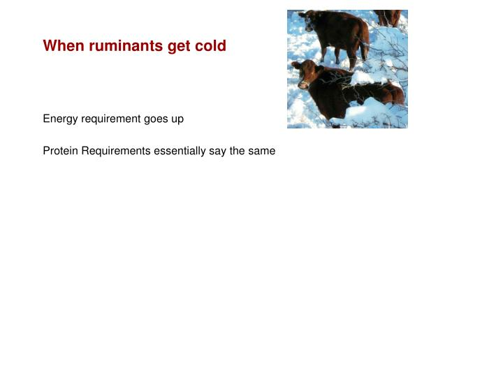 When ruminants get cold