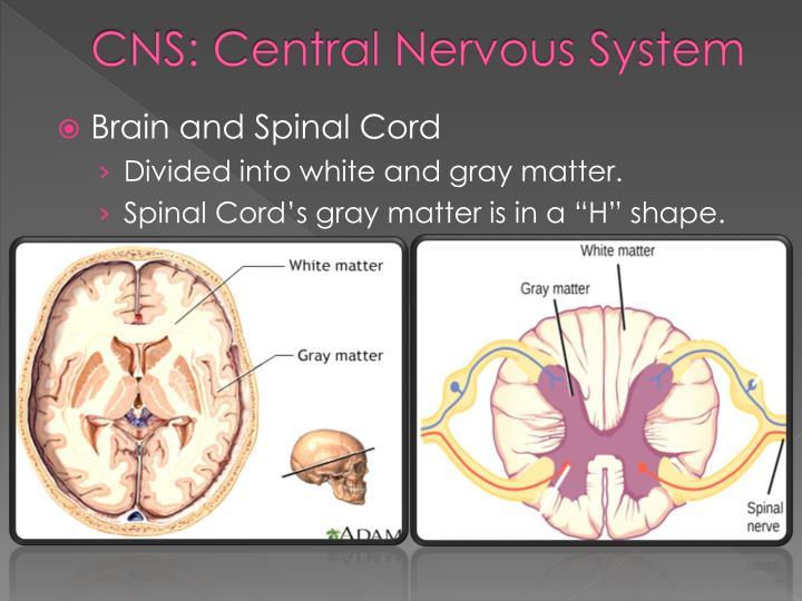 CNS: Central Nervous System