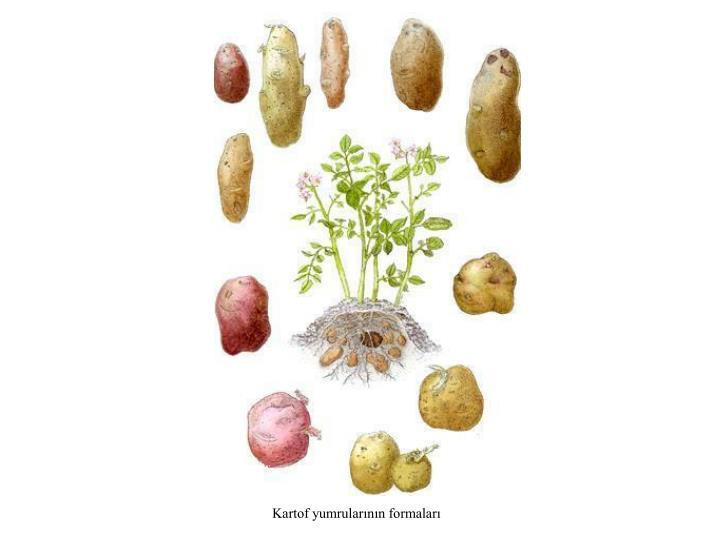 Kartof yumrularının formaları