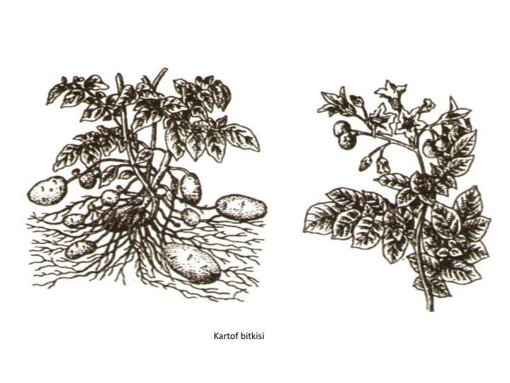 Kartof bitkisi