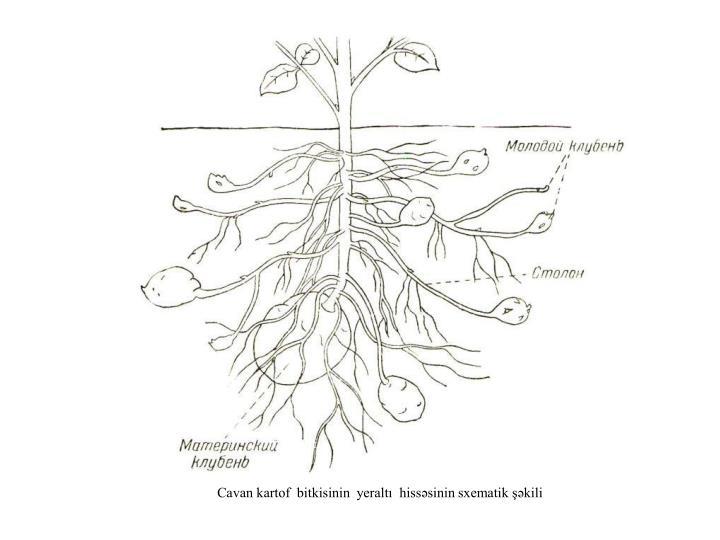 Cavan kartof  bitkisinin  yeraltı  hissəsinin sxematik şəkili