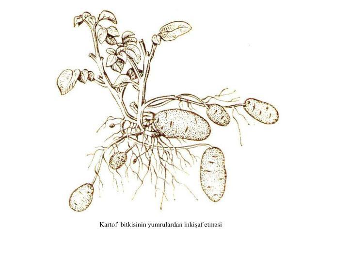 Kartof  bitkisinin yumrulardan inkişaf etməsi