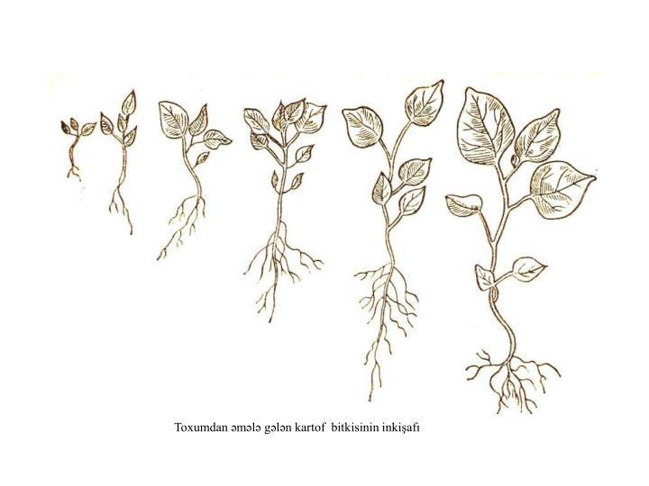 Toxumdan əmələ gələn kartof  bitkisinin inkişafı