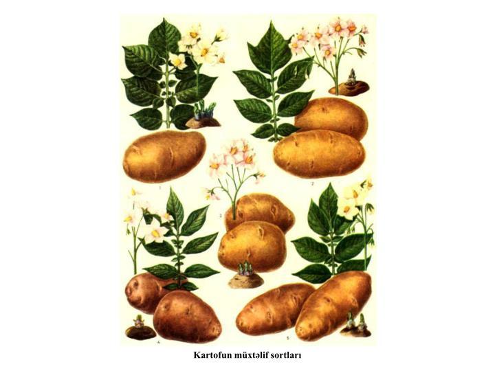 Kartofun müxtəlif sortları