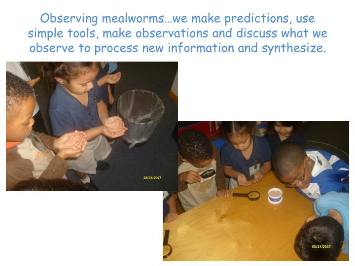Observing mealworms…we make predictions, use simple tools, make observations and discuss what we observe to process new information and synthesize.