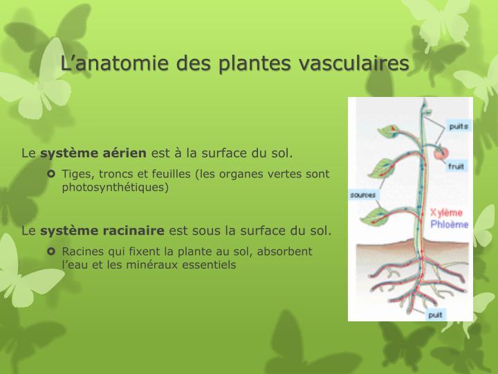 L'anatomie des plantes vasculaires
