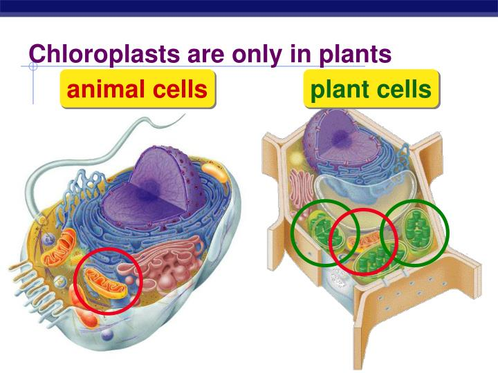 Chloroplasts are only in plants