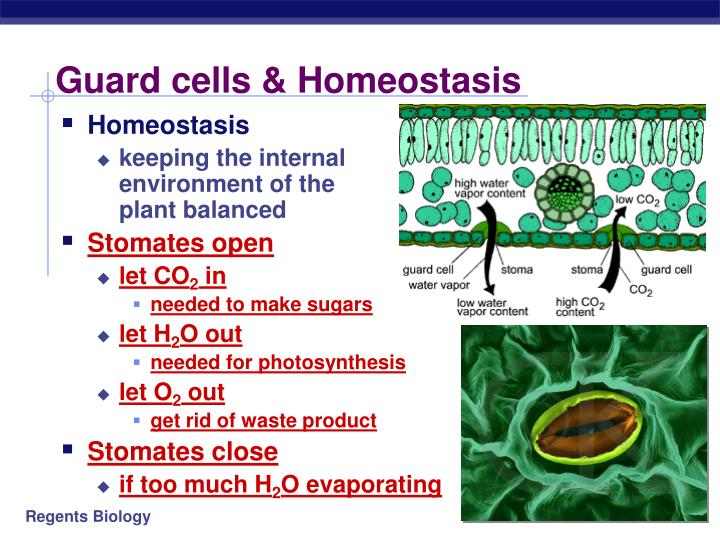 Guard cells & Homeostasis