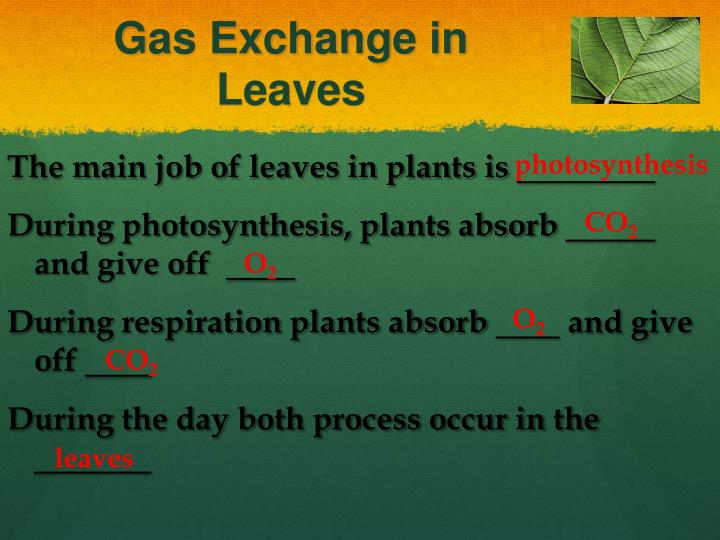 Gas Exchange in Leaves