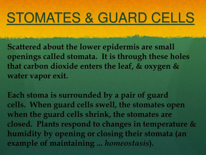 STOMATES & GUARD CELLS