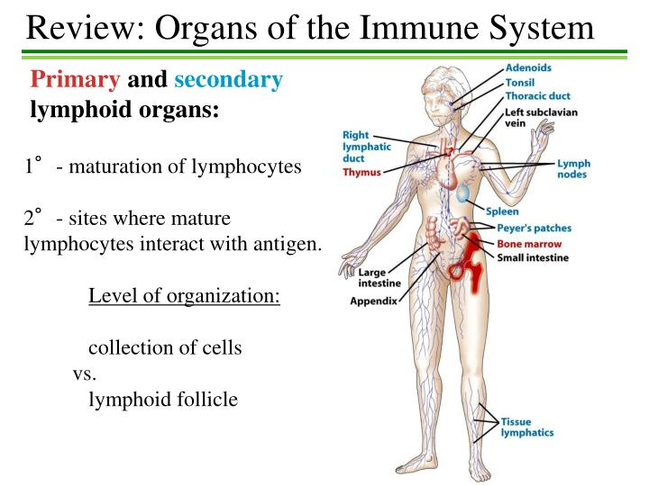 Review: Organs of the Immune System