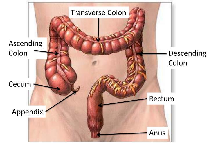 Transverse Colon