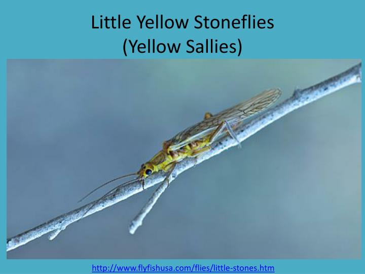 Little Yellow Stoneflies