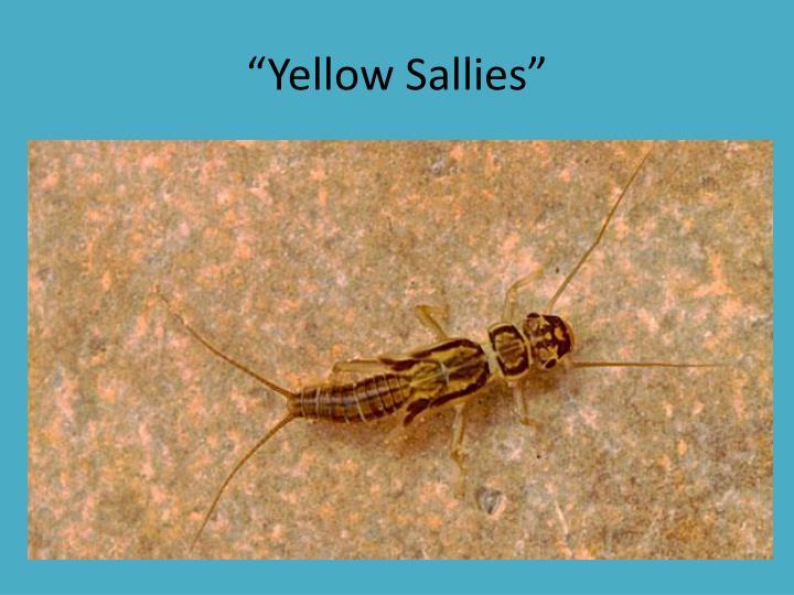 """""""Yellow Sallies"""""""
