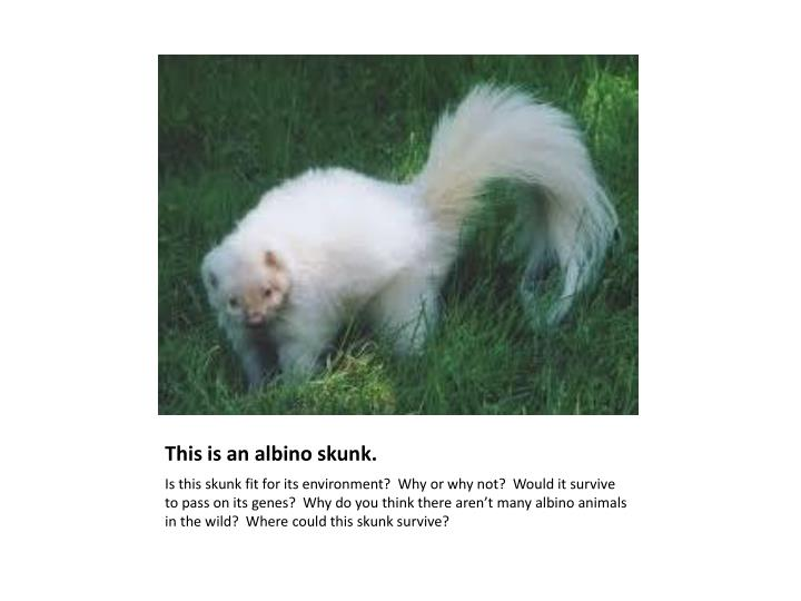 This is an albino skunk.