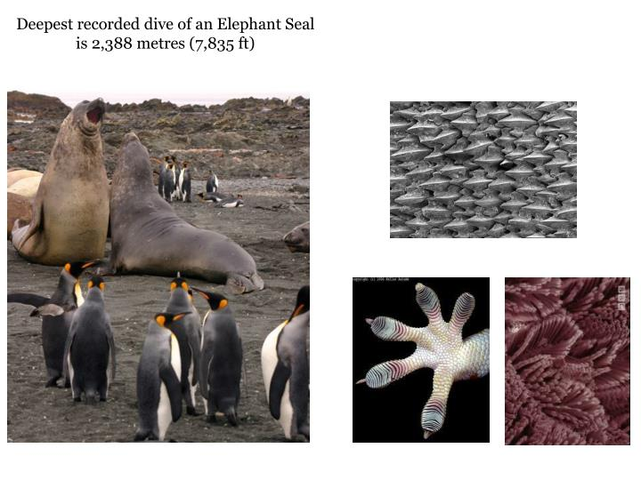 Deepest recorded dive of an Elephant Seal is 2,388
