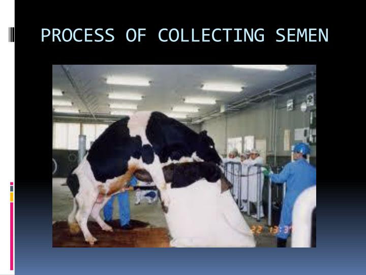 PROCESS OF COLLECTING SEMEN