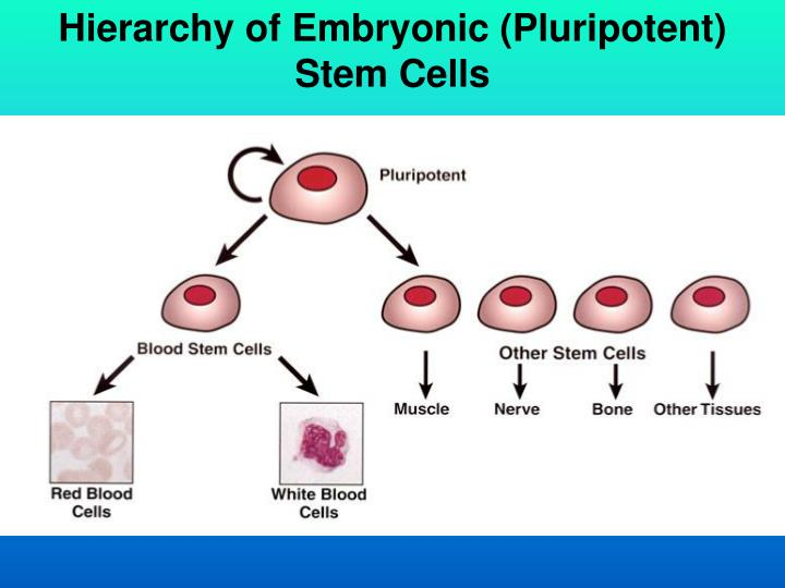 Hierarchy of Embryonic (Pluripotent) Stem Cells