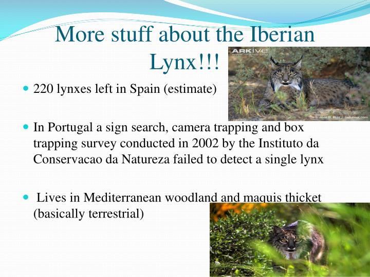 More stuff about the Iberian Lynx!!!