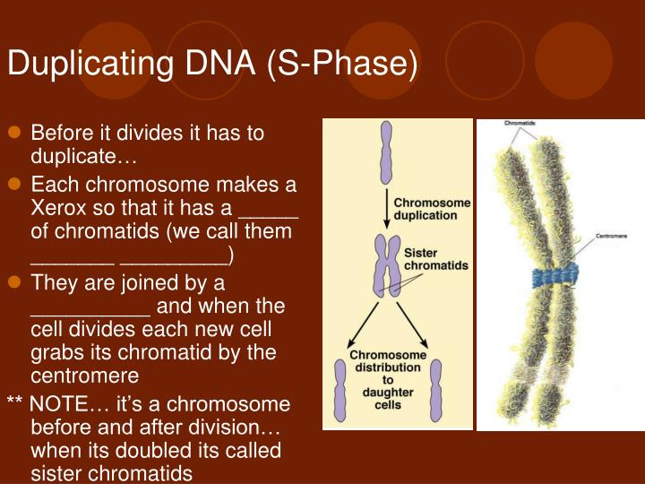 Duplicating DNA (S-Phase)