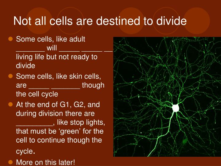 Not all cells are destined to divide