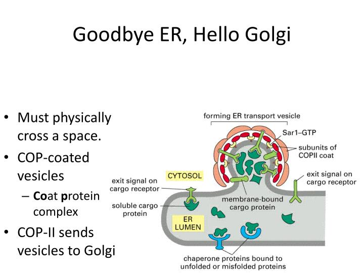 Goodbye ER, Hello Golgi