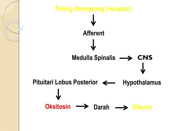 Puting dirangsang (receptor)