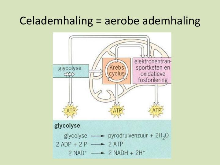 Celademhaling