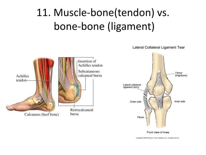 11. Muscle-bone(tendon) vs.